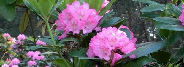 Jak sadzić różaneczniki?