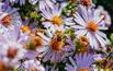 Astry: kwiaty miododajne do ogrodu