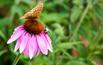 Jeżówka purpurowa: rośliny miododajne w ogrodzie